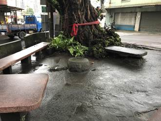 大樹下雀榕代代相傳  淡水北投子珍貴樹木健康檢查
