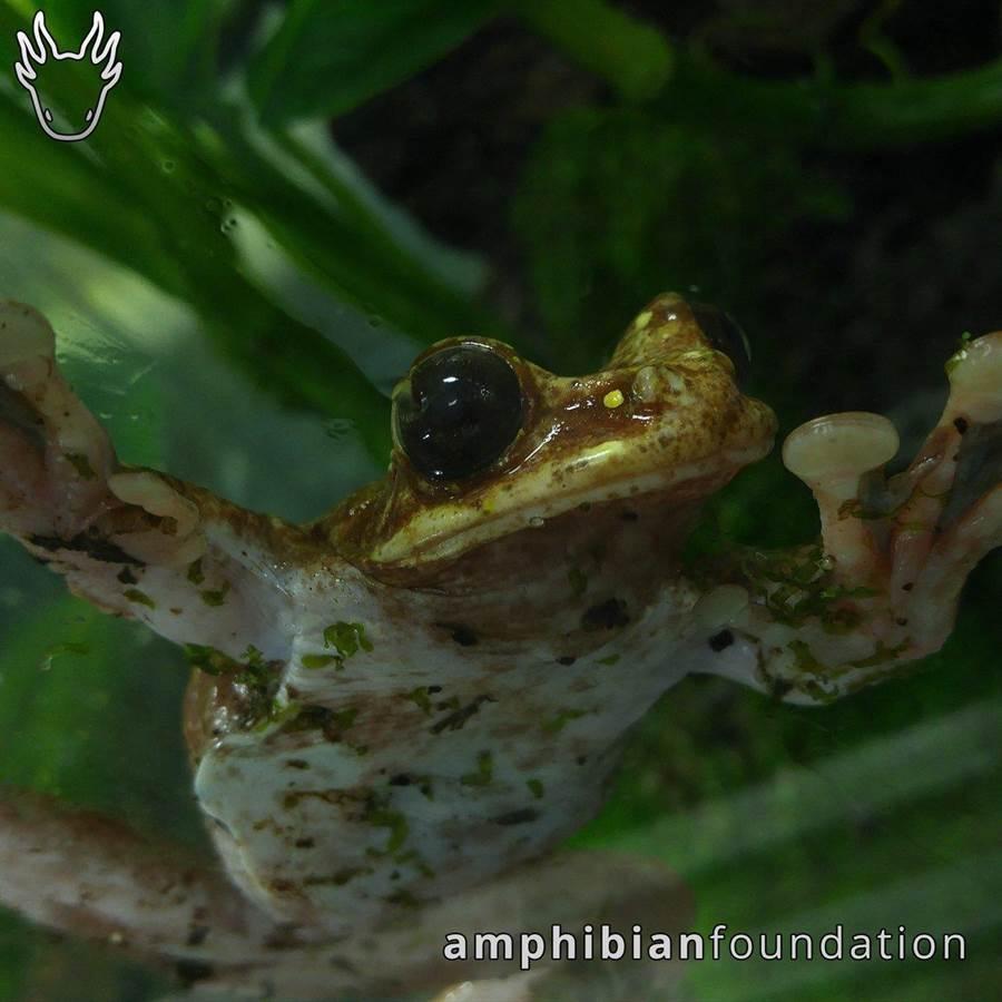 曼迪卡(Mark Mandica)養的青蛙Toughie。(圖取自推特)