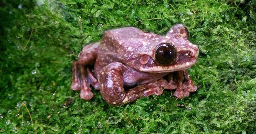世界上最後一隻巴拿馬樹蛙Toughie。(圖取自亞特蘭大植物園臉書)