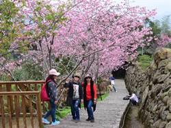 鳳麓茶馨「鳳凰自然教育園區」河津櫻滿開璀璨