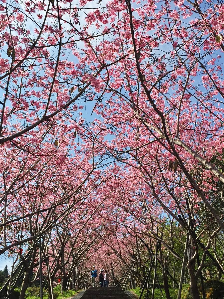 鳳麓茶馨櫻花隧道,河津櫻美不勝收。(廖志晃攝)