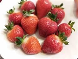 草莓盛產大又紅 採草莓是時候