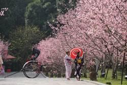 富士櫻3月初登場 九族櫻花季延長到3月11日