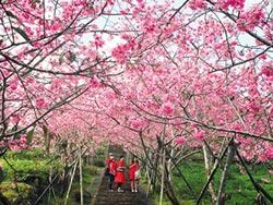 鳳麓茶馨櫻花步道 盛開