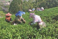 台茶銷路下滑 陸茶反在台熱銷
