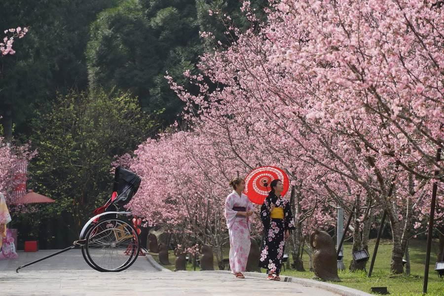 九族櫻花季延長到3月11日,粉嫩富士櫻初綻。(廖志晃翻攝)