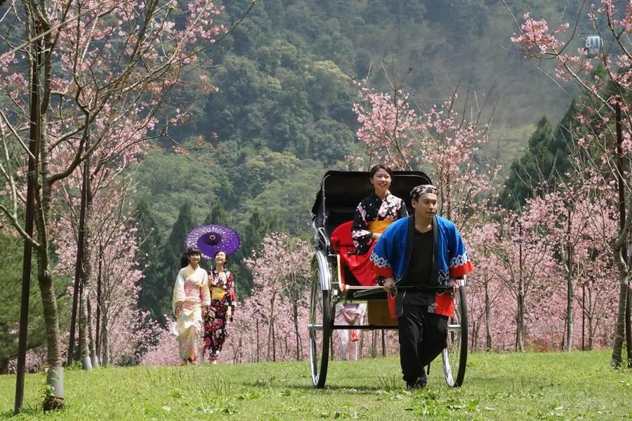 九族文化村櫻花祭期間,可以搭乘人力車賞櫻。(廖志晃翻攝)