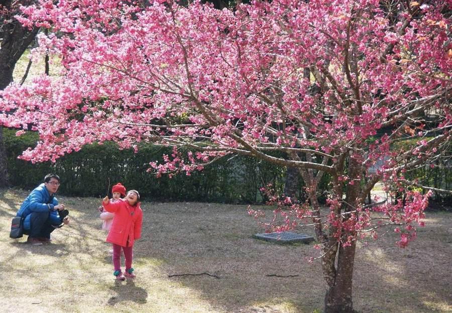 ▲奧萬大國家森林遊樂區的櫻花盛開,美不勝收。(林管處提供)