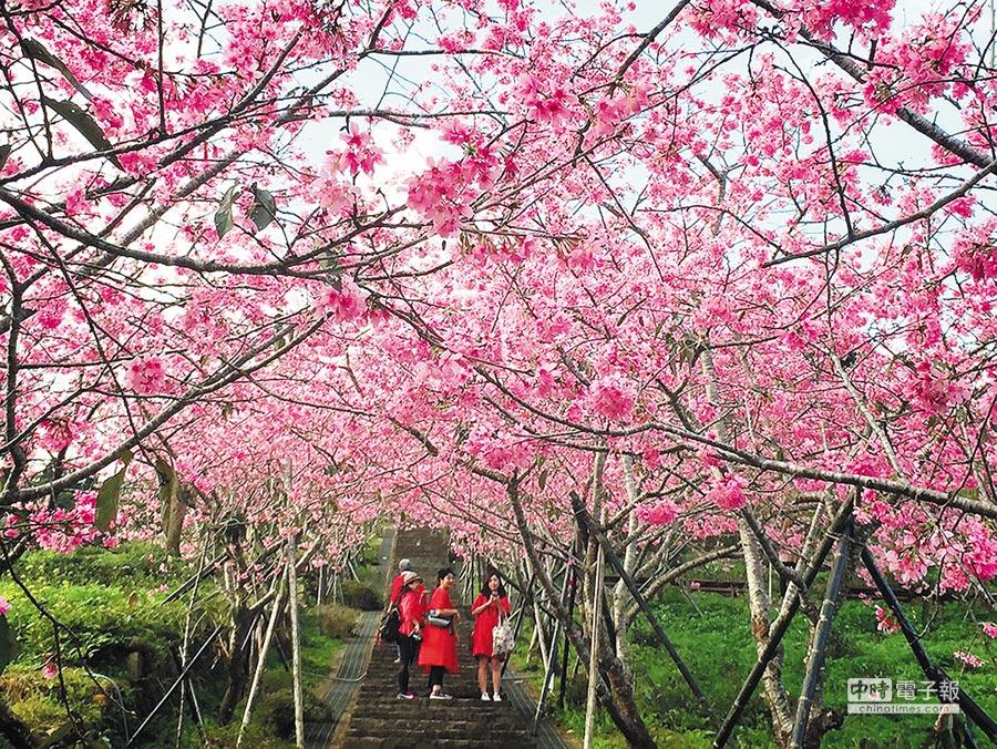 鳳凰自然教育園區櫻花隧道,美不勝收!(廖志晃攝)