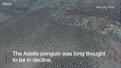 無人機找到「企鵝王國」 百萬隻在危險群島多到滿出來!
