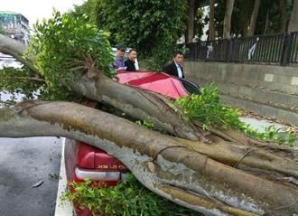 褐根菌蔓延? 雲科大圍牆垂榕突倒下壓毀汽車