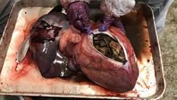 高雄港3隻小虎鯨搶救無效死亡 胃內發現大量垃圾