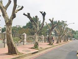 路樹被砍頭 原來是截頂修剪