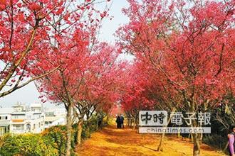 淡淡3月天 桃園櫻花滿枝椏