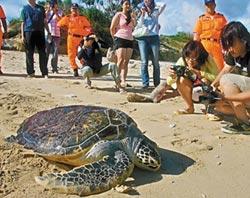 去年救助約200隻海龜 7成死亡