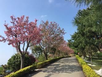 來蓮臺山上賞櫻花看蓊鬱翠綠的樟樹林