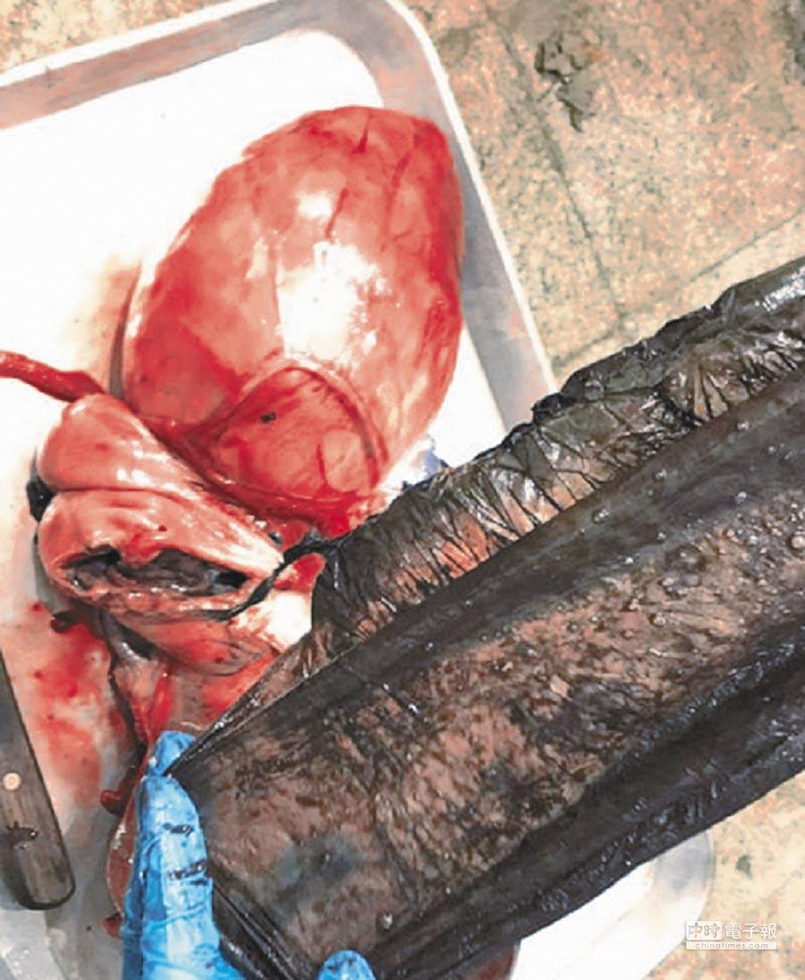 擱淺高雄港受困的小虎鯨獲救卻宣告不治,身軀最瘦小的母小虎鯨解剖發現,胃裡竟有18個塑膠袋。(成大海洋生物及鯨豚研究中心提供)