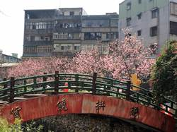 土城櫻花季活動提前開跑  邀民眾共度春日好時光