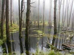 「忘憂森林」如人間仙境 感受柳杉枯木高聳參天奇景