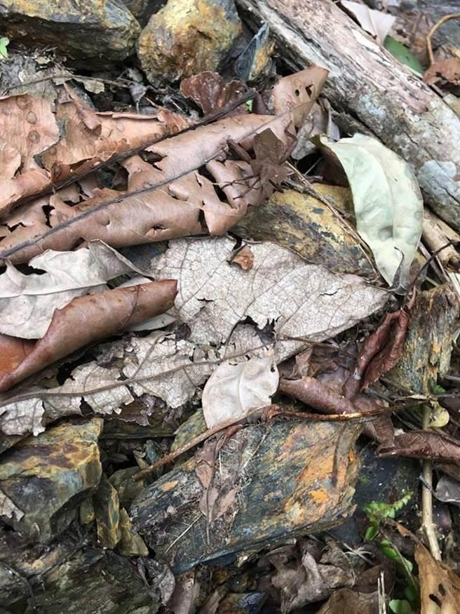 ▲1隻「月肩奇緣樁」昆蟲,停棲在路面落葉堆中,若未經提示,很不容易被發現。(沈揮勝攝)