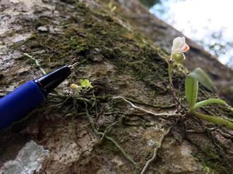 發現最小的蘭花 花朵與火柴棒差不多