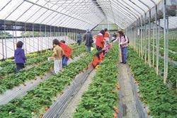 地方掃描-內湖草莓季開跑 送優惠點券