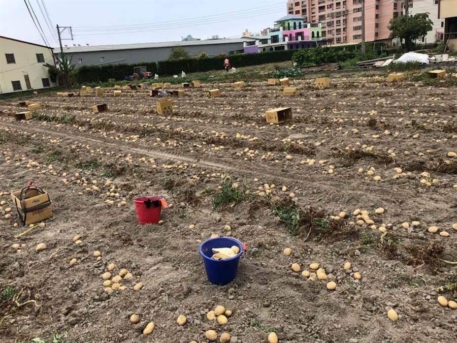 潭子農民利用二期稻作收割後種植馬鈴薯,目前已進入採收季節。(潭子農會提供)