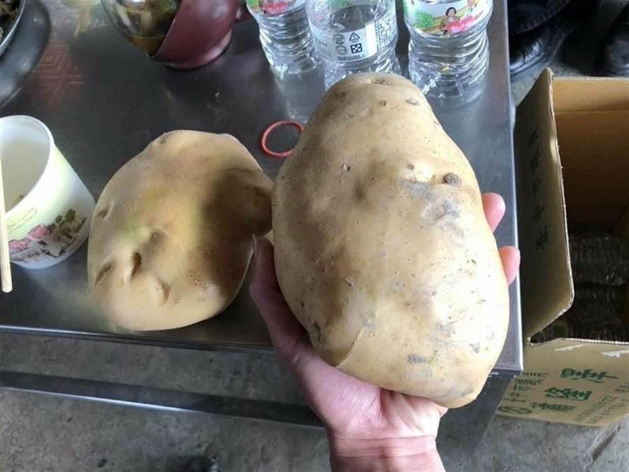 潭子馬鈴薯個頭碩大,營養價值豐富,有在地生產優勢,無論品質、鮮度都深受好評,尺寸大到巴掌hold不住。(潭子農會提供)