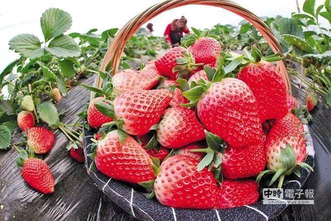 近來網路謠傳「草莓農藥多,民眾長期吃猶如慢性自殺」?(圖/本報系資料照)