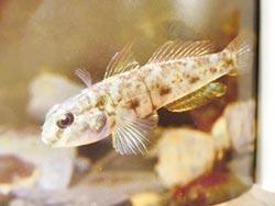 鹽水溪生態豐 珍稀生物現蹤