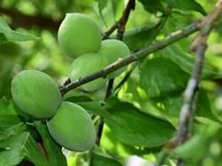 這棵梅樹 半數果實是異卵多胞胎連體嬰