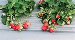 終結草莓5大謠言!專家:講出來會被笑