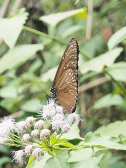 迎紫斑蝶 蜜源植物準備好了