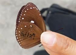茂林標放紫斑蝶 11年來首次在林內捕獲