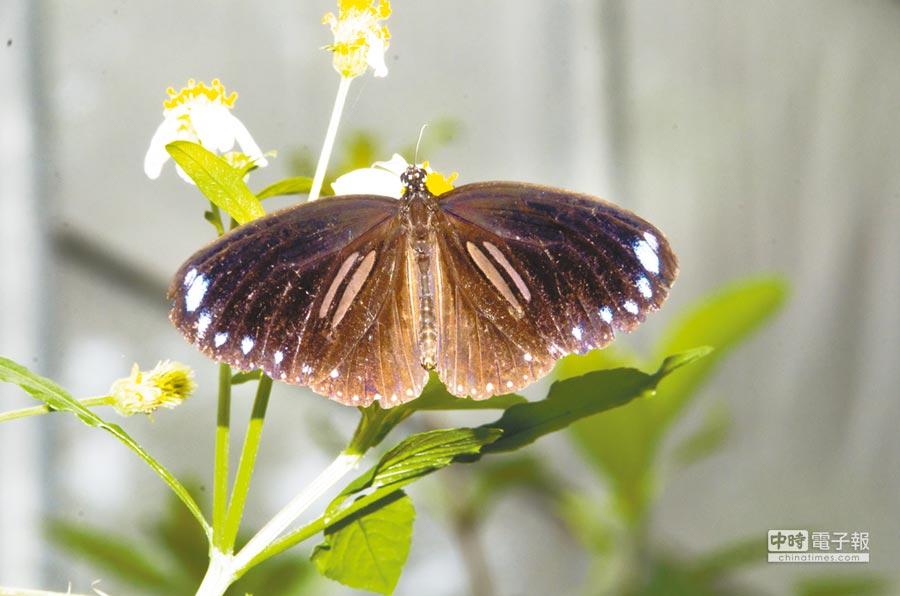八卦山綠色環境學習營地生態資源豐富,成為紫斑蝶北返最好的中繼站棲地。(謝瓊雲翻攝)