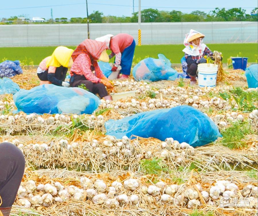 正值蒜頭採收期,但今年價格不振,農民叫苦連天。(許素惠攝)