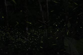 古坑螢火蟲季開跑 一起找真愛密碼