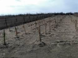砍樹再種樹?台中市府農業局澄清