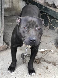 童遭比特犬爆頭險喪命 這「6大惡犬」你家也有?