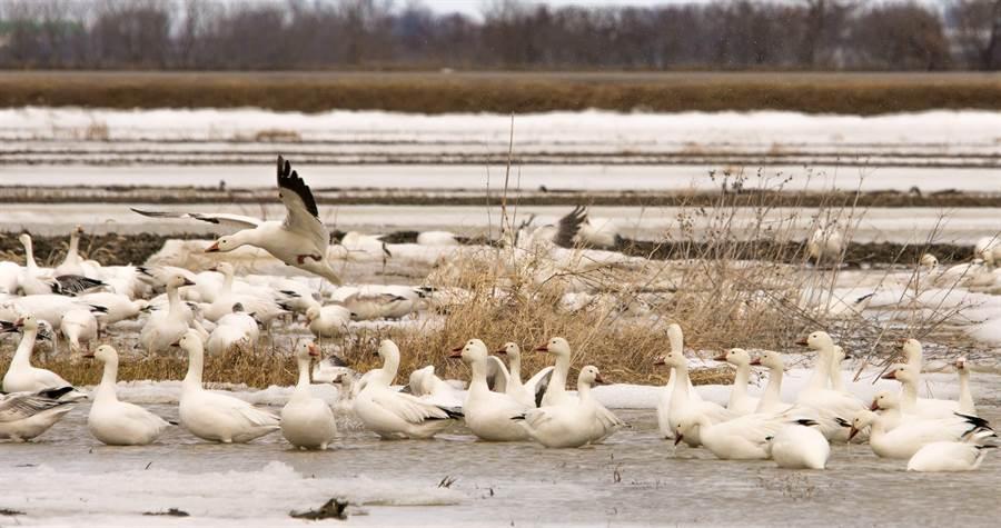 成群雪雁群聚湖邊的畫面。(達志影像/Shutterstock)