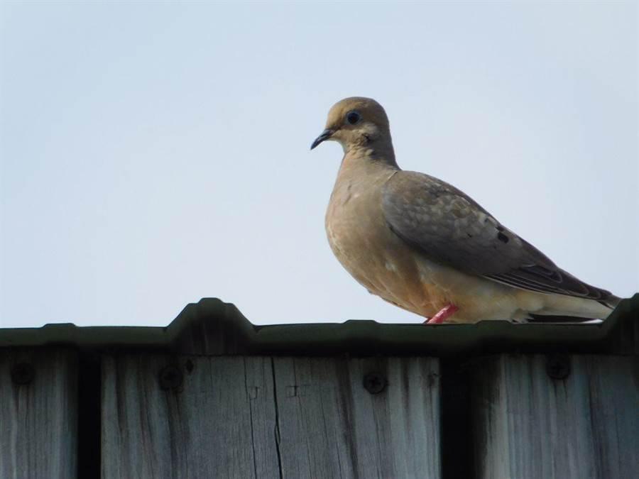 哀鴿。(達志影像/Shutterstock)