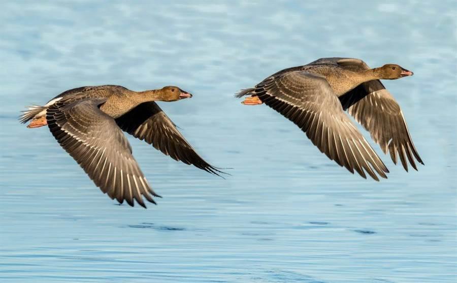 粉脚雁。(達志影像/Shutterstock)