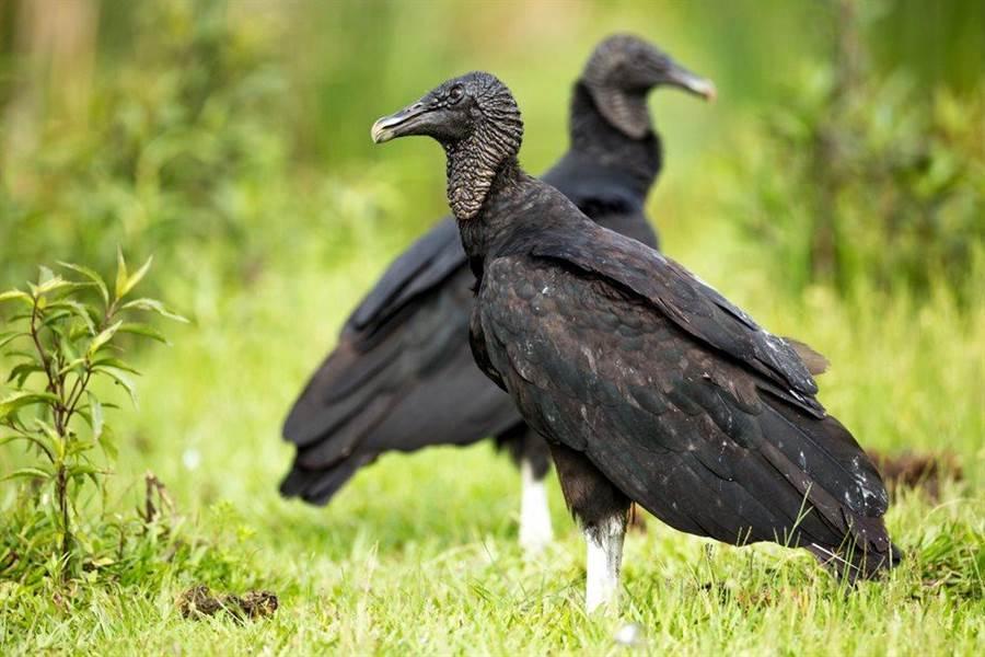 黑美洲鷲。(達志影像/Shutterstock)