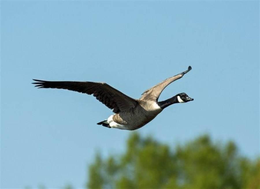 加拿大雁。(達志影像/Shutterstock)