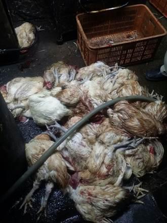 不敢吃米血了!私宰場內米血與死雞、血水、雞毛摻雜