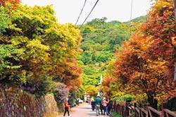 槭樹轉紅 菁山里楓紅似火