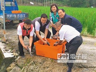 魚池農會放養烏鰡 抗福壽螺