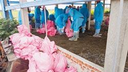 雲林爆禽流感 撲殺3萬雞禽