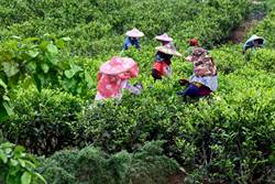 日管處挺紅茶標章 催生高CP值紅茶