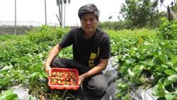 康國義馴化有成  彰化埔心還有草莓可以採
